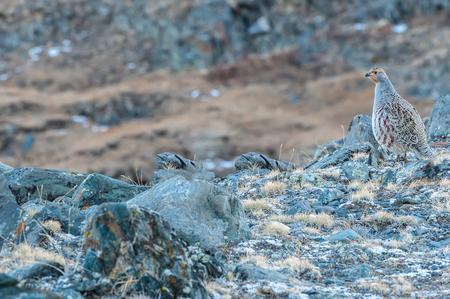 kuropatwa: Ptak kuropatwa zwyczajna z brązowymi plamami na tle kamieni w górach
