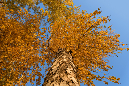 tallness: Bottom view on the trunk and golden foliage of the high birch tree a background of blue sky in autumn