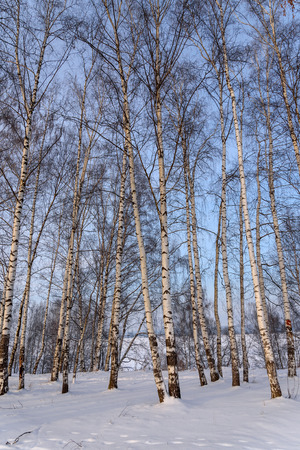 drifts: Birch grove with high thin birch trees in the snow and drifts against the blue sky