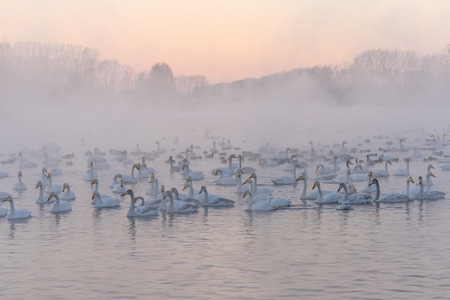 wintering: Beautiful winter landscape with swans swimming in the fog on a lake Stock Photo