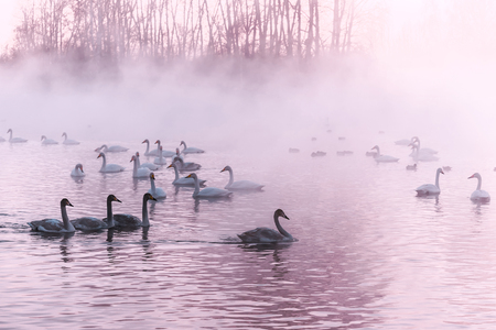 elegancy: Beautiful winter landscape with swans swimming in the fog on a lake Stock Photo