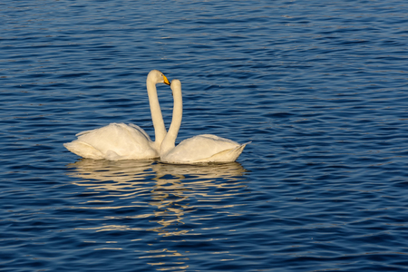 elegancy: A beautiful pair of white swans swimming in the lake, on a background of blue water on a sunny day