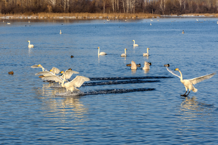 synchronously: The picturesque scene with swans, which simultaneously lowered into the water waving wings at the lake on a frosty sunny day
