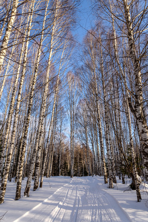 drifts: Scenic winter view with the birch grove with tall thin birches among the snow and snow drifts against the blue sky