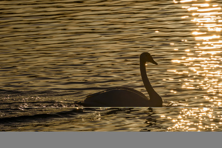 elegancy: Beautiful winter view with swan in the sunlight swimming in the lake at sunset Stock Photo