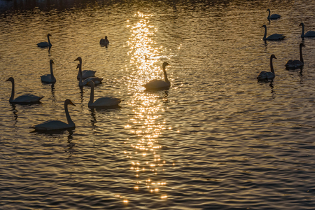 wintering: Beautiful winter view with swans in the sunlight swimming in the lake at sunset Stock Photo