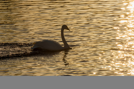 wintering: Beautiful winter view with swan in the sunlight swimming in the lake at sunset Stock Photo