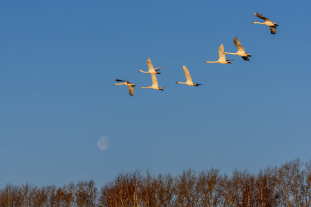 synchronously: Beautiful view with a flock of swans flying against the blue sky and the moon on a sunny day Stock Photo