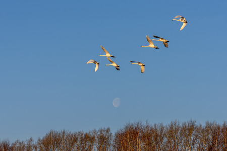 elegancy: Beautiful view with a flock of swans flying against the blue sky and the moon on a sunny day Stock Photo