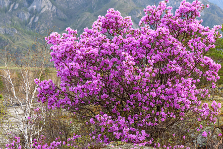 magenta flowers: Very beautiful bright bush rhododendron Ledebour with magenta flowers on a background of trees in the Altai Mountains