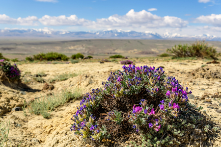 Scenic steppe desert landscape with a large bush of pink and blue flowers Dracocephalum on a background of mountains, blue sky and clouds on a sunny day