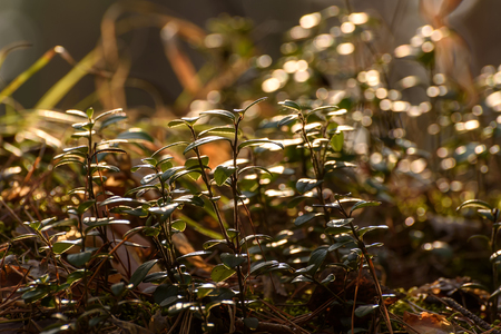 blueberry bushes: Abstract spring natural background with blueberry bushes in the sunlight in the spring in the forest