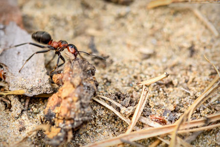 Natural animal background with red ant in an anthill closeup, performing work Stock Photo