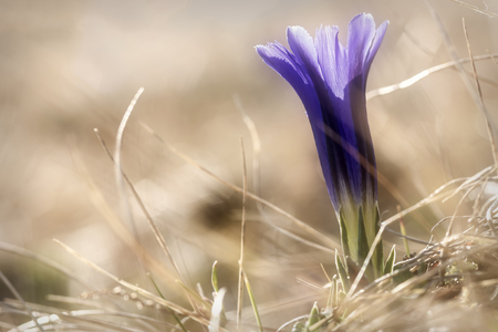 gentian flower: Floral natural background with beautiful violet wild flower gentian closeup on the blurry background of dry grass in the sunlight