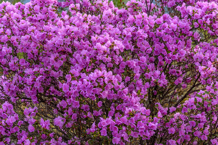 magenta flowers: Beautiful bright floral background with magenta flowers rhododendron Ledebour Stock Photo