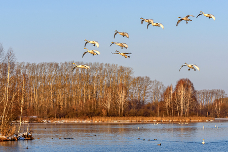 synchronously: Beautiful view with a flock of swans flying against the lake and trees in winter sunny day Stock Photo
