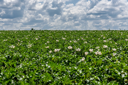 Beautiful rural landscape with bright green field flowering potatoes with white flowers against a blue sky with clouds Stock Photo