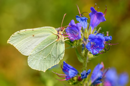Beautiful natural background with butterfly Gonepteryx rhamni closeup sitting on a blue flower on a blurred background of green grass Stock Photo