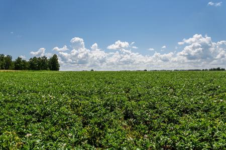 Schöne Landschaft Mit Leuchtend Grünen Wiese Blühenden Kartoffeln ...