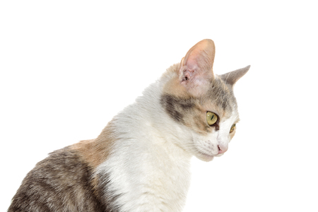 Portrait of a pretty tricolor cat isolated on a white background Stock Photo