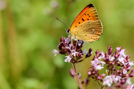 virgaureae: Beautiful natural background with butterfly Lycaena virgaureae closeup with orange wings with black spots sitting on a flower on a blurred background of green grass