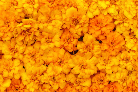 Bright floral decorative background in the form of a carpet of beautiful yellow marigold flowers in the sunlight