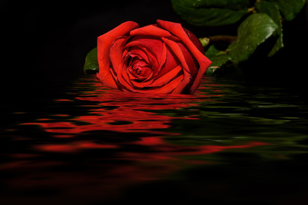 abstract rose: Beautiful floral background with bright red rose closeup on a black background with reflection in water Stock Photo