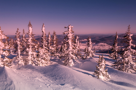 Scenic winter view from the top with a pink sunrise, spruce with snow on the branches and snowdrifts on a background of mountains