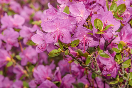Beautiful delicate floral background with magenta flowers Ledebur rhododendron with drops of water after rain Stock Photo