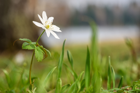Beautiful spring floral background with white delicate flower anemone in the grass close-up