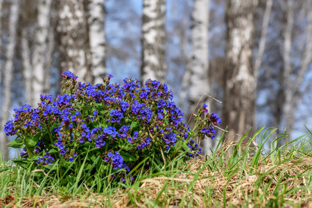 Beautiful spring floral background with bright blue flowers Medunica (Pulmonaria) on a meadow in the grass close-up on a blurred background of trunks of birches