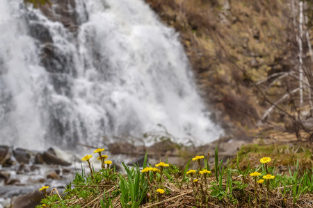 Beautiful natural background with the first spring yellow flowers of the mother-and-stepmother close-up on the background of a falling water of the waterfall Stock Photo