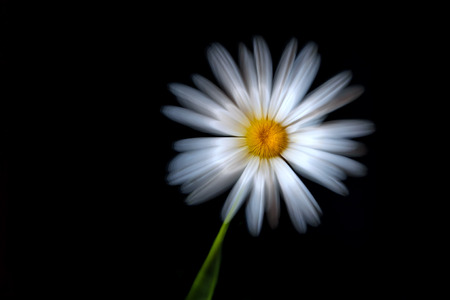 White beautiful daisy flower close-up on a black background shot with a silky soft effect with a zoom effect Stok Fotoğraf