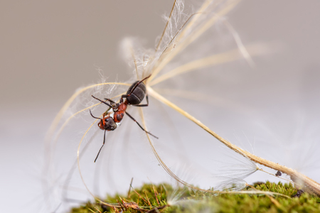 Natural animal background with red ant close-up sitting on a seed of large dandelion