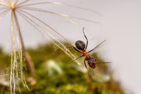 Natural animal background with red ant close-up sitting on a seed of large dandelion  Stock Photo