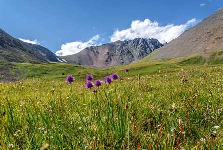 Violet wildflowers Allium schoenoprasum on a bright green alpine meadow in the highlands against the backdrop of mountains and blue sky with clouds
