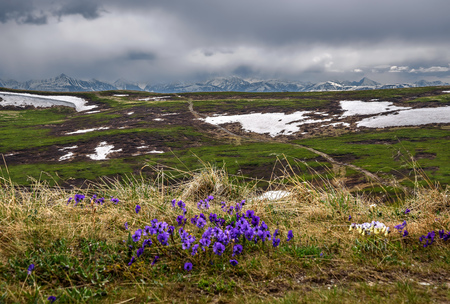 Dirt road on top of the mountain, snow and wild flowers of pansies against the background of cloudy skies and snowy mountains