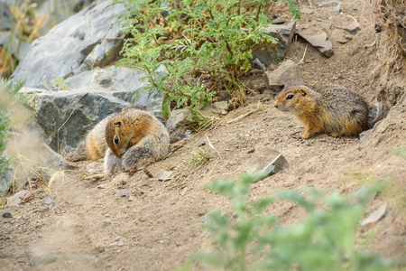 A pair of pretty gophers sit near their hole in the grass and stones in the steppe