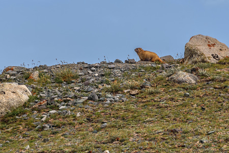 Cute fluffy steppe marmot sits on the stones in the grass against the blue sky and clouds Archivio Fotografico