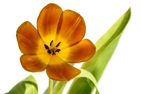 Amazing orange with yellow tulip close up isolated on white background