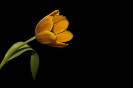 Amazing orange with yellow tulip close up on black background