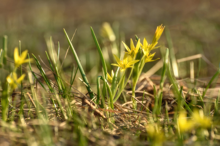 Beautiful spring floral background with bright small yellow flowers Gagea close-up on a meadow in the sunlight