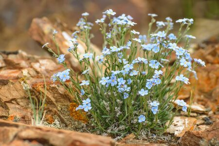 Beautiful bouquet of delicate blue flowers Alpine (Myosotis alpestris) grown on stones in the mountains close-up