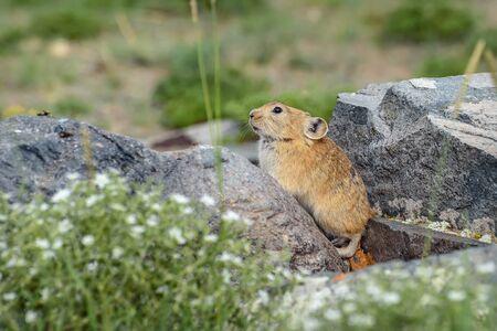 Cute little fluffy pika (Ochotona) sits on stones near a burrow closeup. Altai, Russia