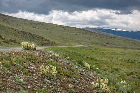 Beautiful light yellow fluffy flowers Panzeria lanata (Ballota lanata) on the slope of a mountain and along the road against a cloudy sky and thunderclouds. Altai, Russia 免版税图像