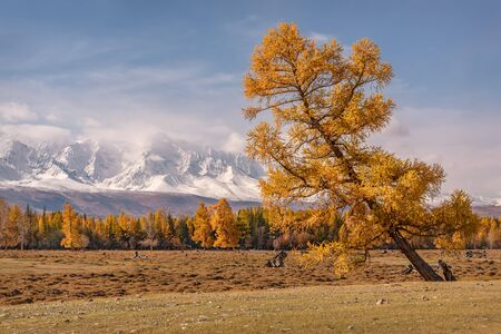 Amazing autumn landscape with a golden curved larch tree on a background of snowy mountains and blue sky Reklamní fotografie
