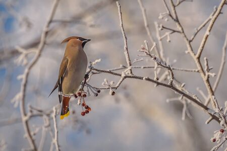 Beautiful bright bird waxwing closeup sits on a branch of a wild apple tree with red small berries and hoarfrost in winter Stock fotó