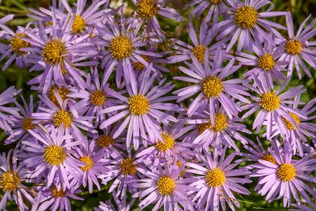 Beautiful floral background with lilac flowers aster alpine (Aster alpinus) top view closeup with dew drops in the grass 스톡 콘텐츠