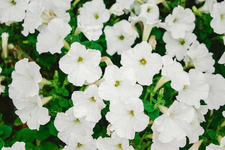 Close-up flowers of white petunias Standard-Bild