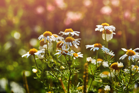 Photo of camomiles on blurred background with light Фото со стока